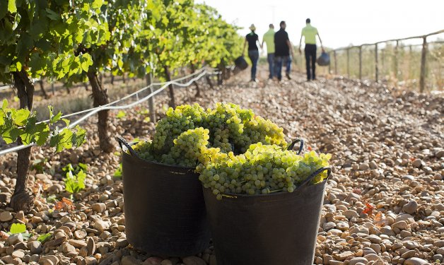 The vineyard as a carbon sink to mitigate climate change