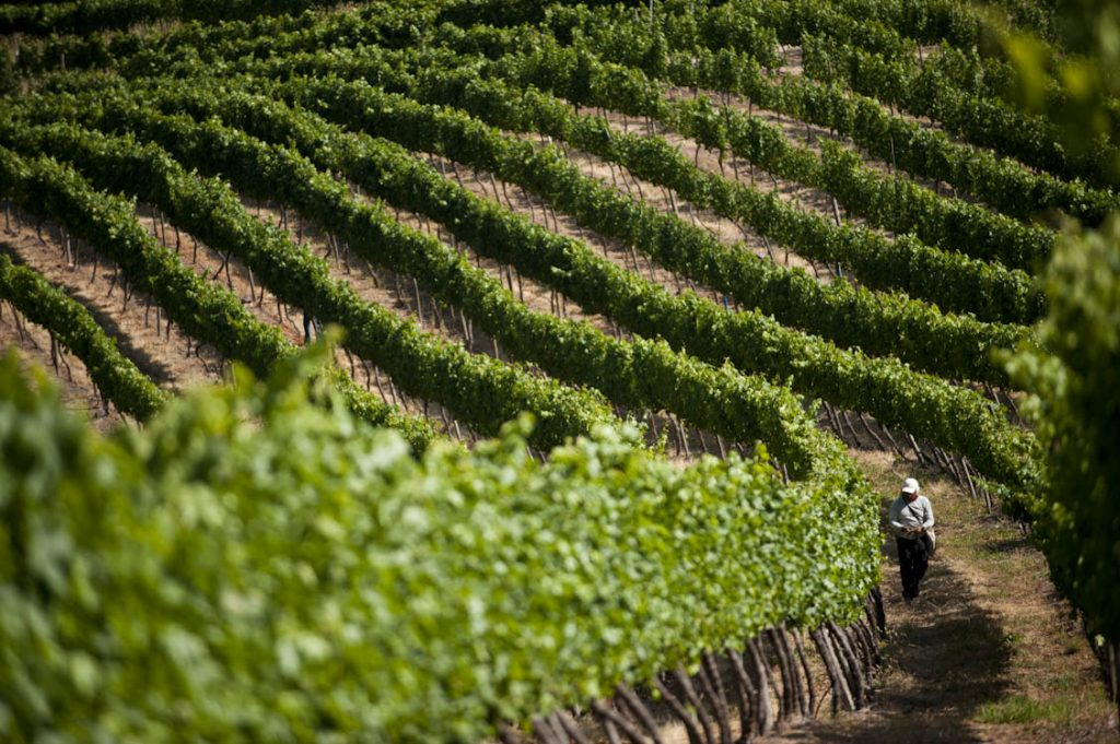 Study on climate change and its effect on grapes cultivation